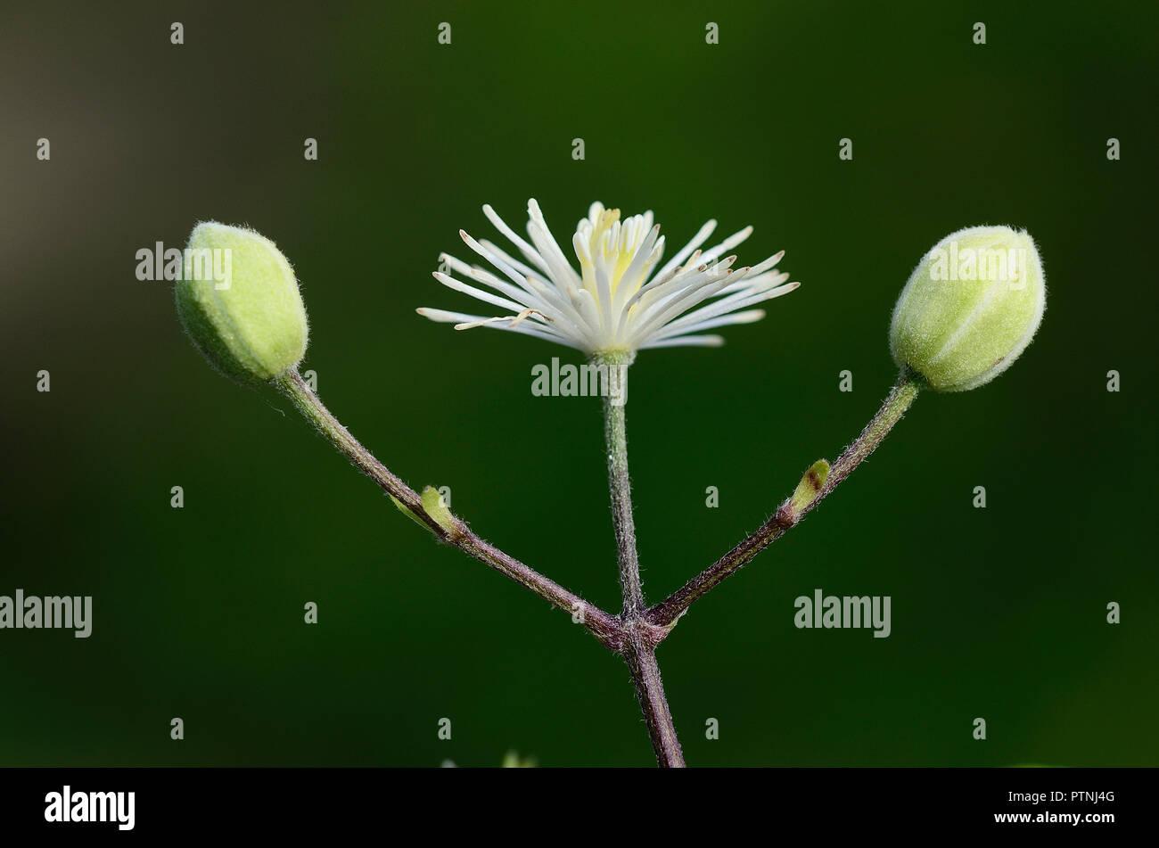 Traveller's joy in flower - Stock Image