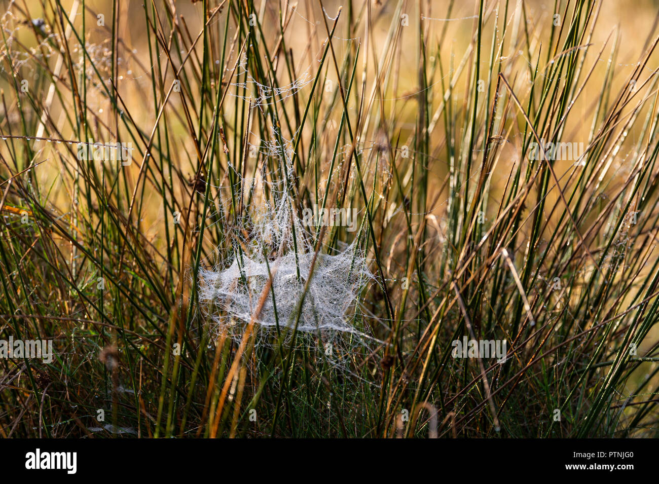 Spiders webs in-between tall grasses - Stock Image