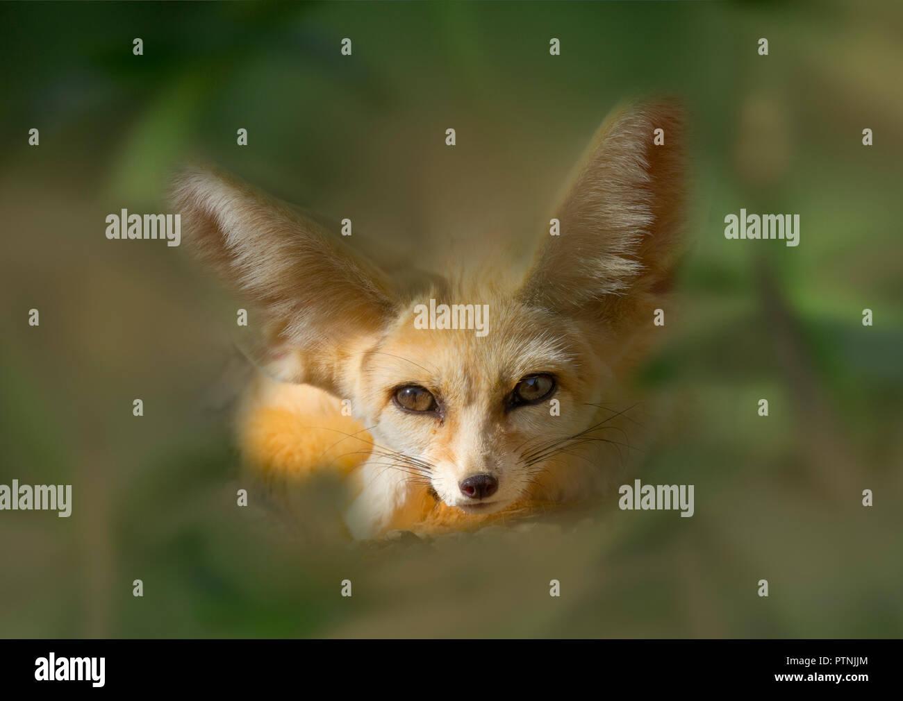 Fennec fox Vulpes zerda sleeping Captive photograph - Stock Image