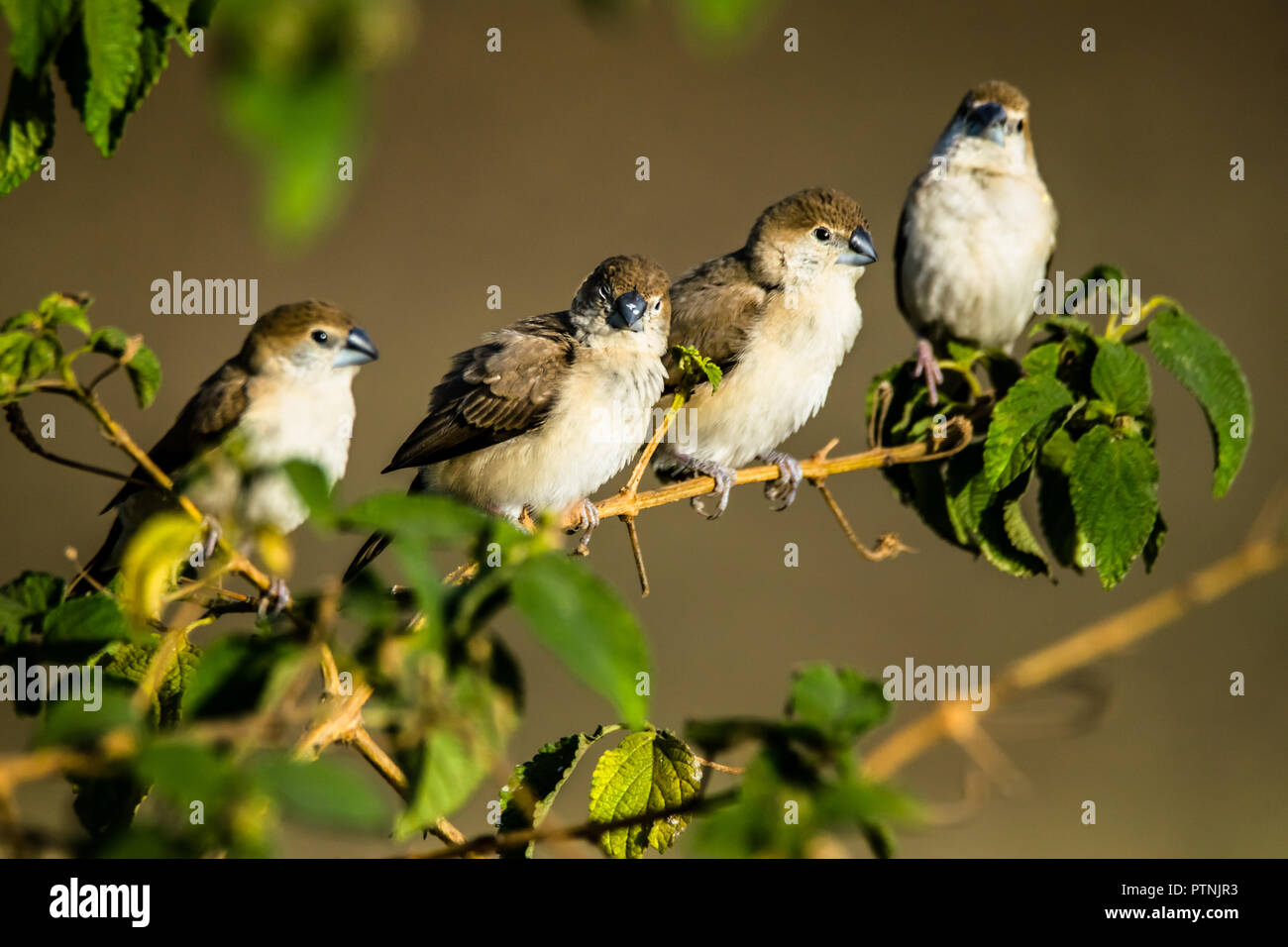 The Indian silverbill or white-throated munia (Euodice malabarica) is a small passerine bird found in the Indian Subcontinent and adjoining regions. - Stock Image