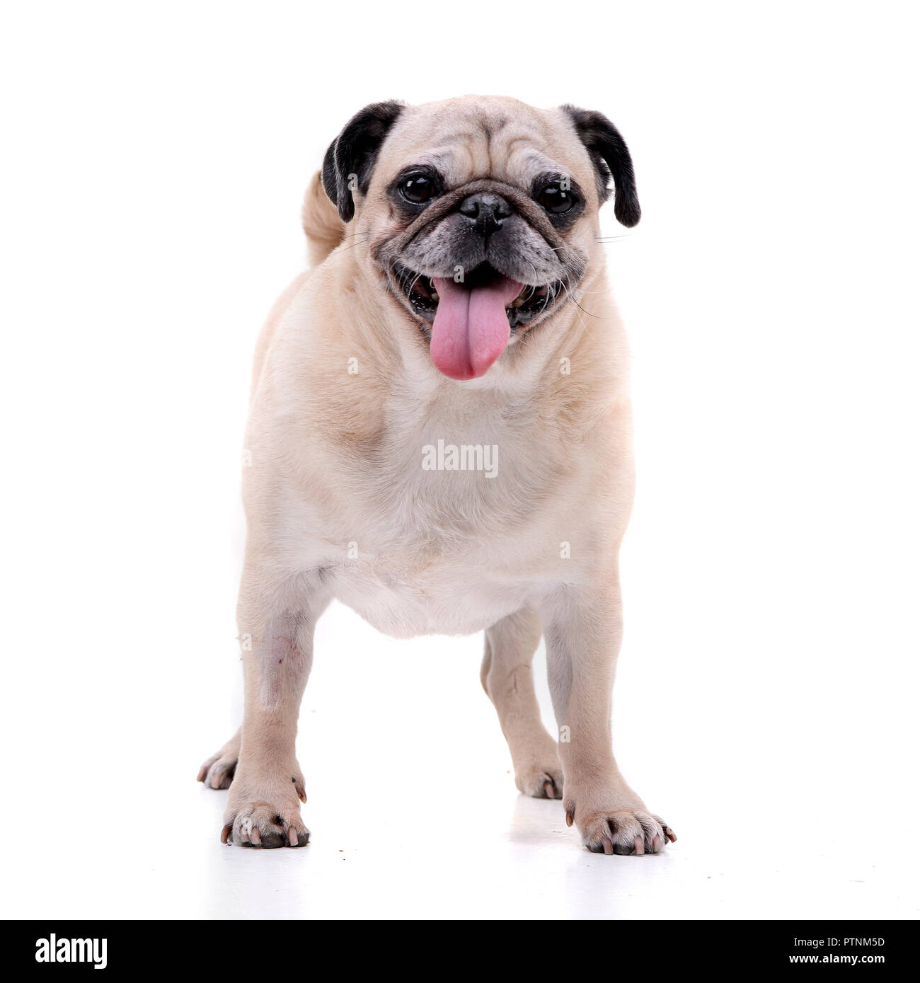 Studio shot of an adorable Mops (or Pug) standing on white background. - Stock Image