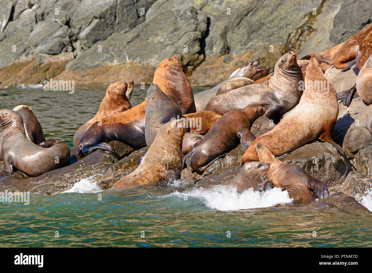 Stellar Sea Lions Crowding on a Rock in Prince William Sound near Valdez, Alaska - Stock Image