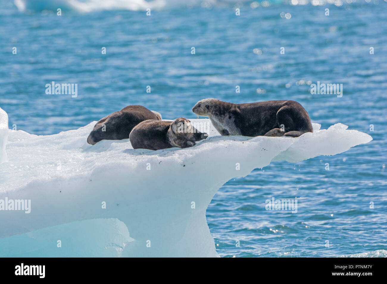 Sea Otters on an Ice Berg in Prince William Sound by the Columbia Glacier in Alaska - Stock Image