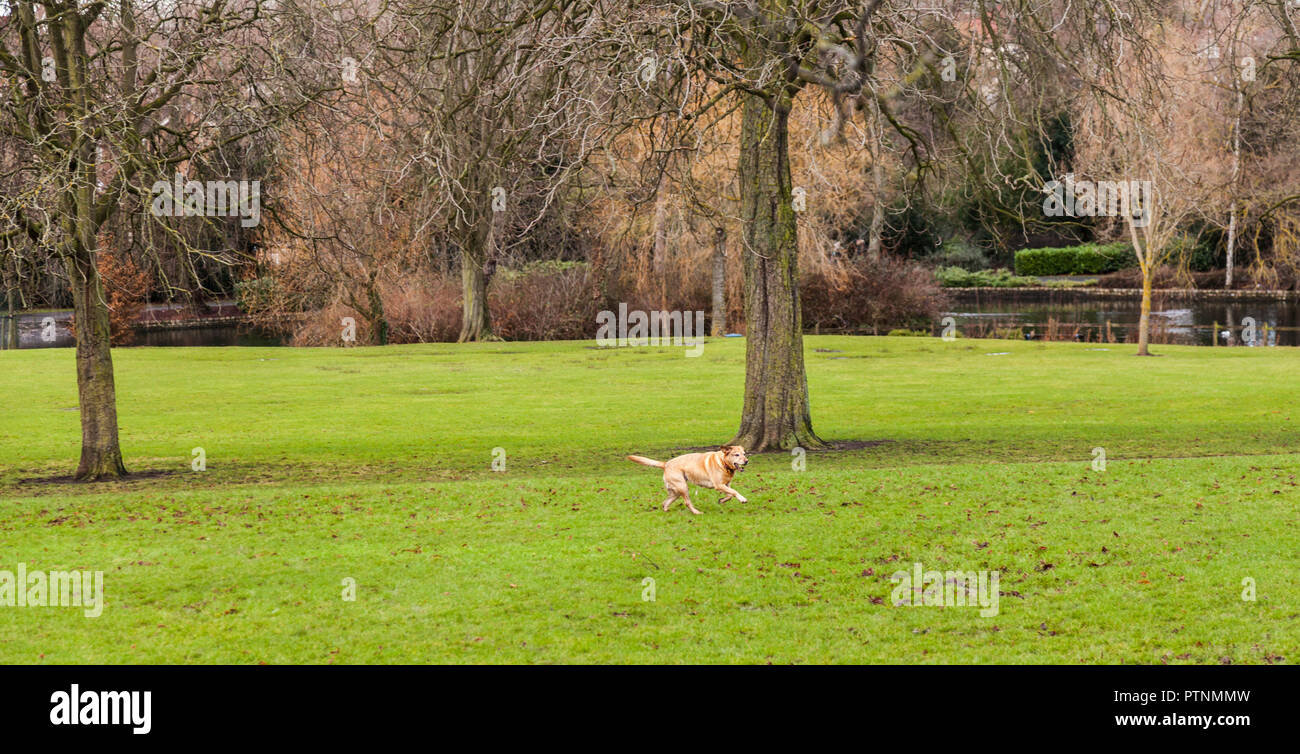 A gold coloured Labrador dog running across the grass with a ball in its mouth in Ropner Park,Stockton on Tees,England,UK Stock Photo