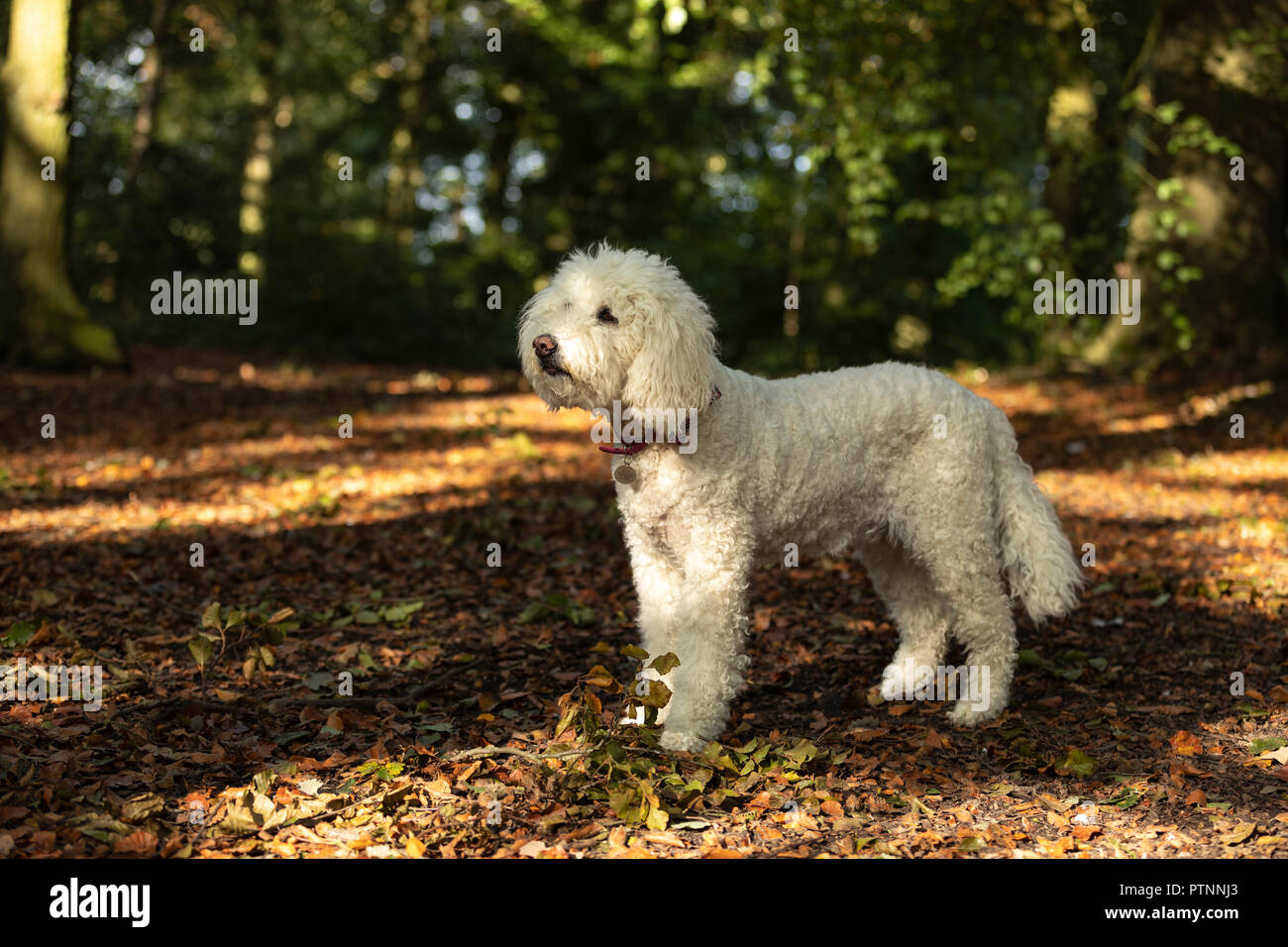 White labradoodle dog pictured outdoors - Stock Image