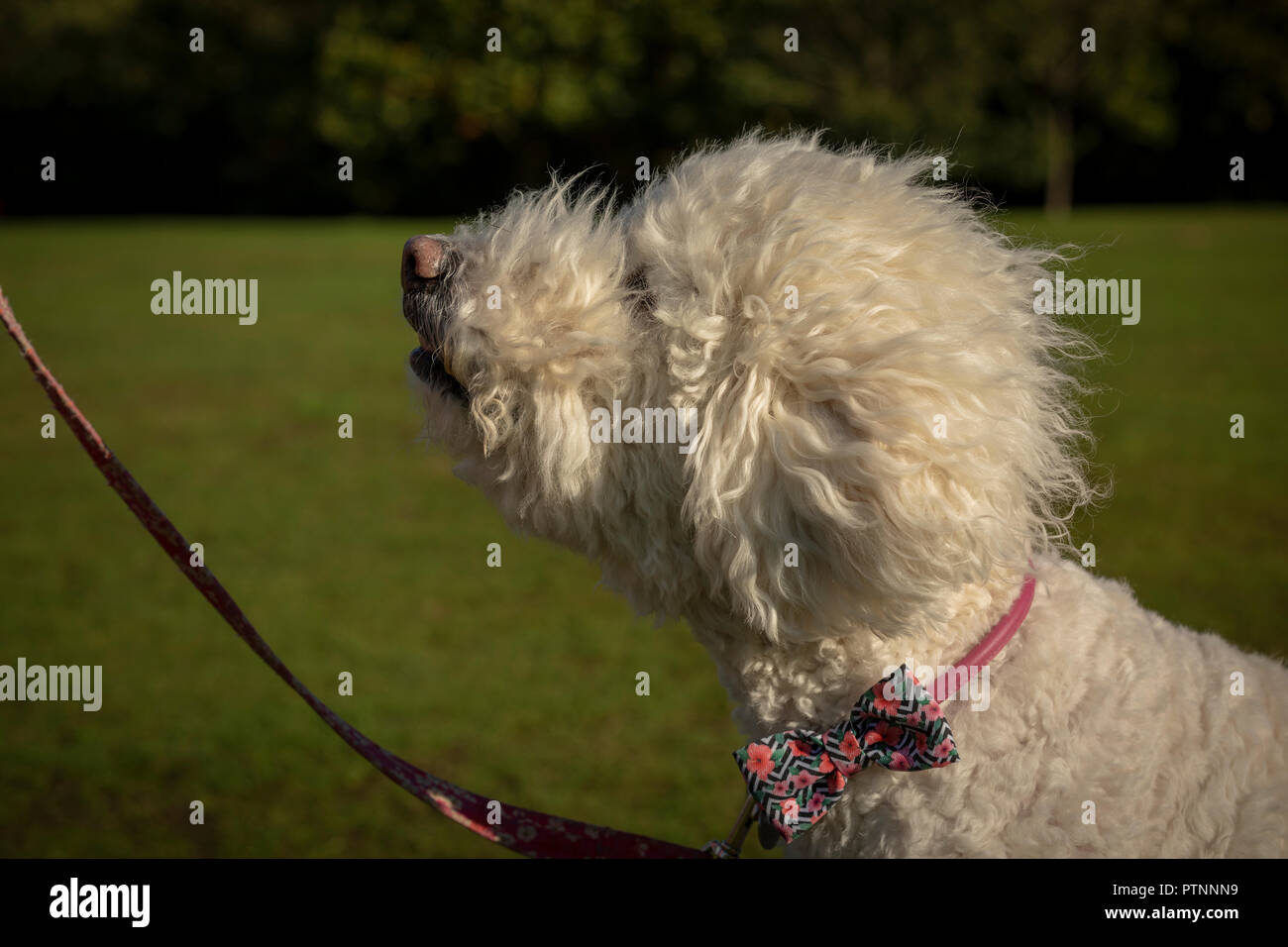 Portrait of white labradoodle dog, pictured outdoors - Stock Image