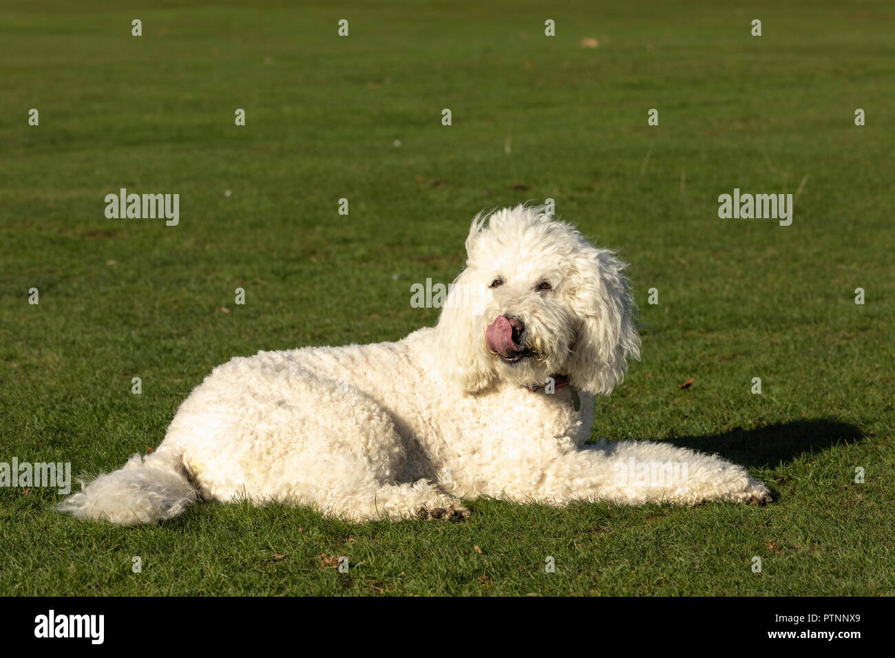 White labradoodle dog pictured outdoors, lying on the ground in a park - Stock Image