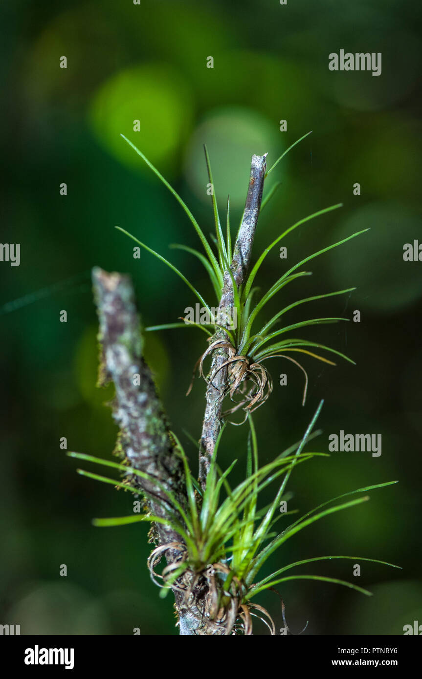 Airplant Tillandsia Attached To The Branch Of A Tree In The