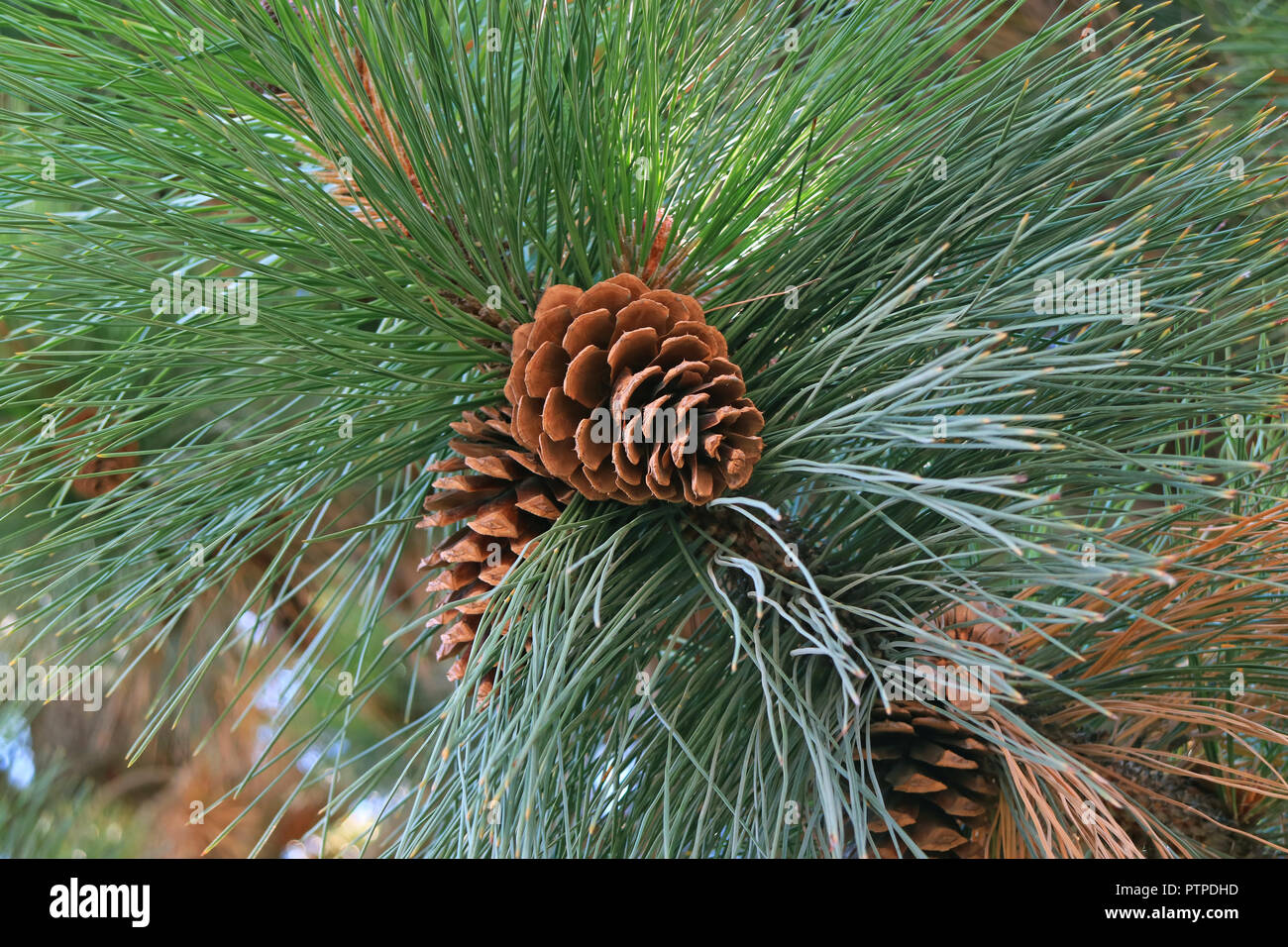 Closed up a pair of pine cone hanging on Pine tree, El Calafate, Patagonia, Argentina - Stock Image