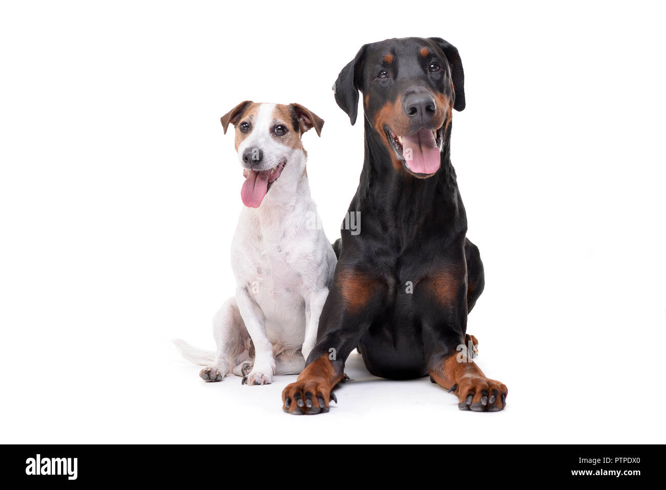 Studio shot of an adorable Jack Russell Terrier and a Dobermann sitting on white background. - Stock Image