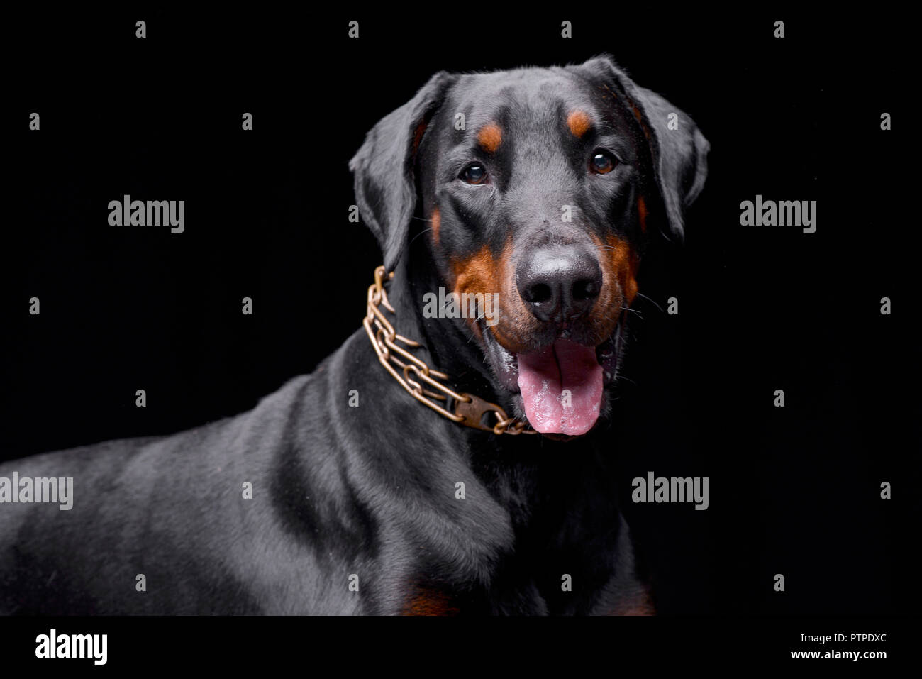 Portrait of an adorable Dobermann - studio shot, isolated on black. - Stock Image