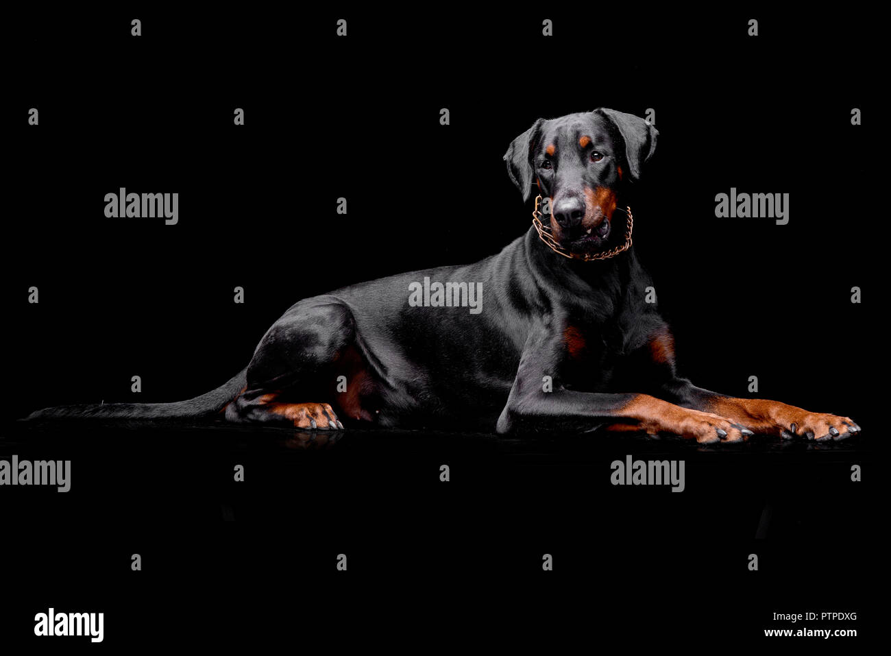 Studio shot of an adorable Dobermann lying on black background. - Stock Image