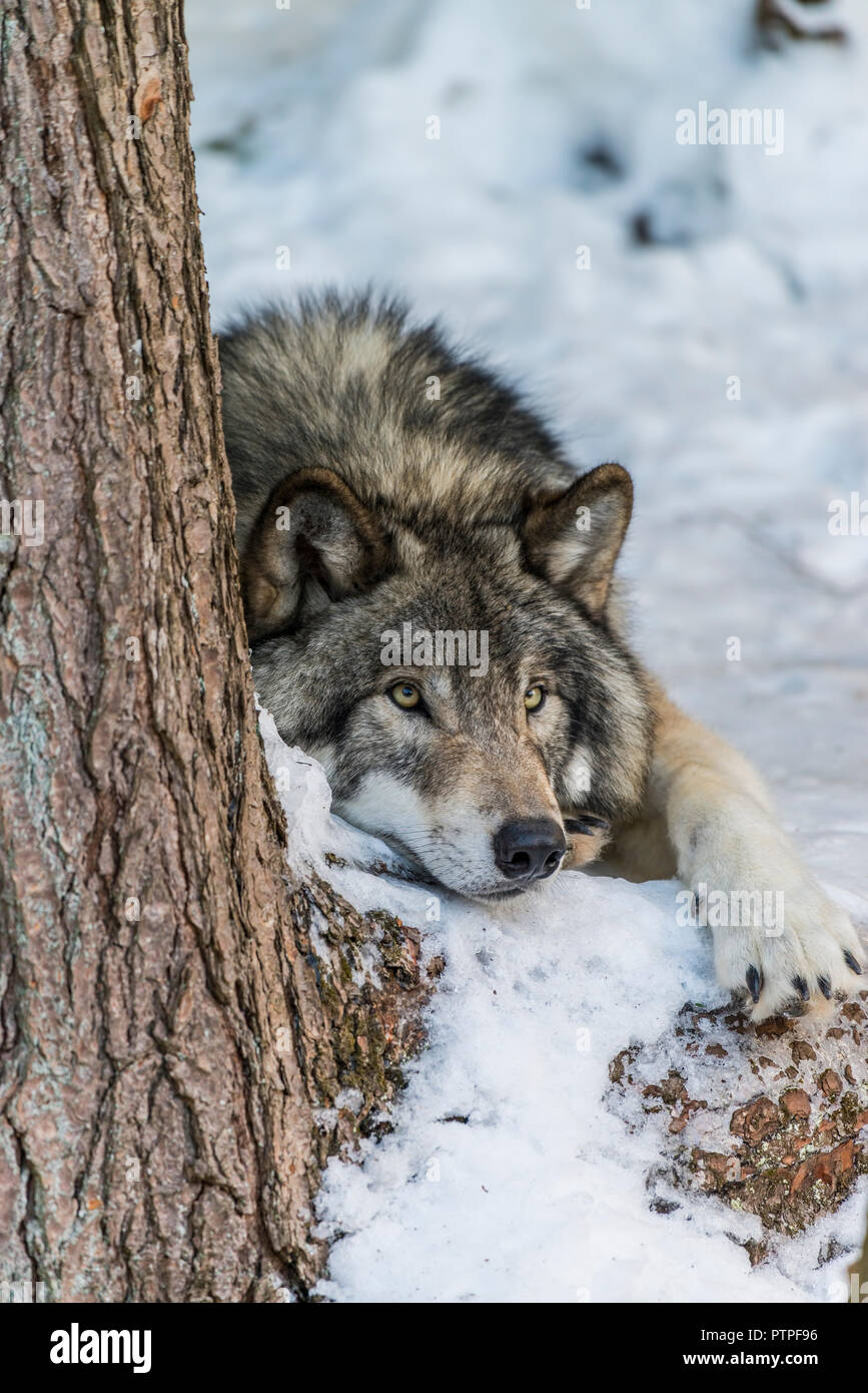 Grey Wolf laying down in the snow beside a tree trunk. - Stock Image