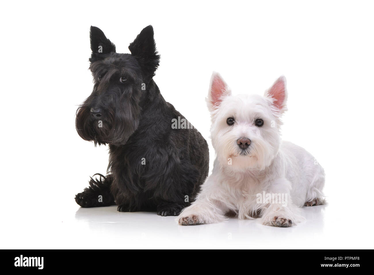 West Highland Black Terrier High Resolution Stock Photography And Images Alamy