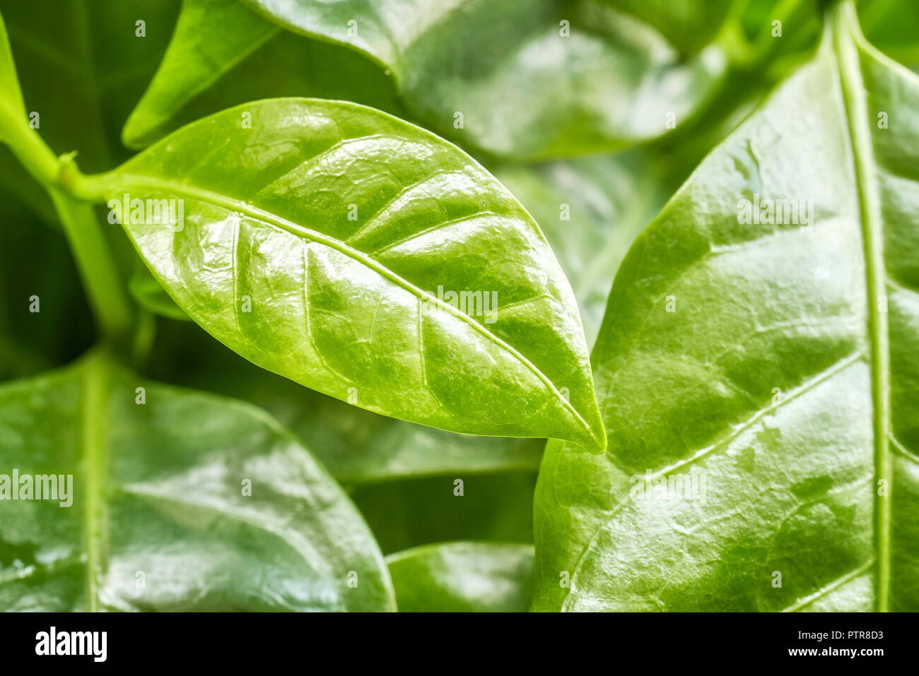 Close up picture of arabica coffee leaves, selective focus. - Stock Image