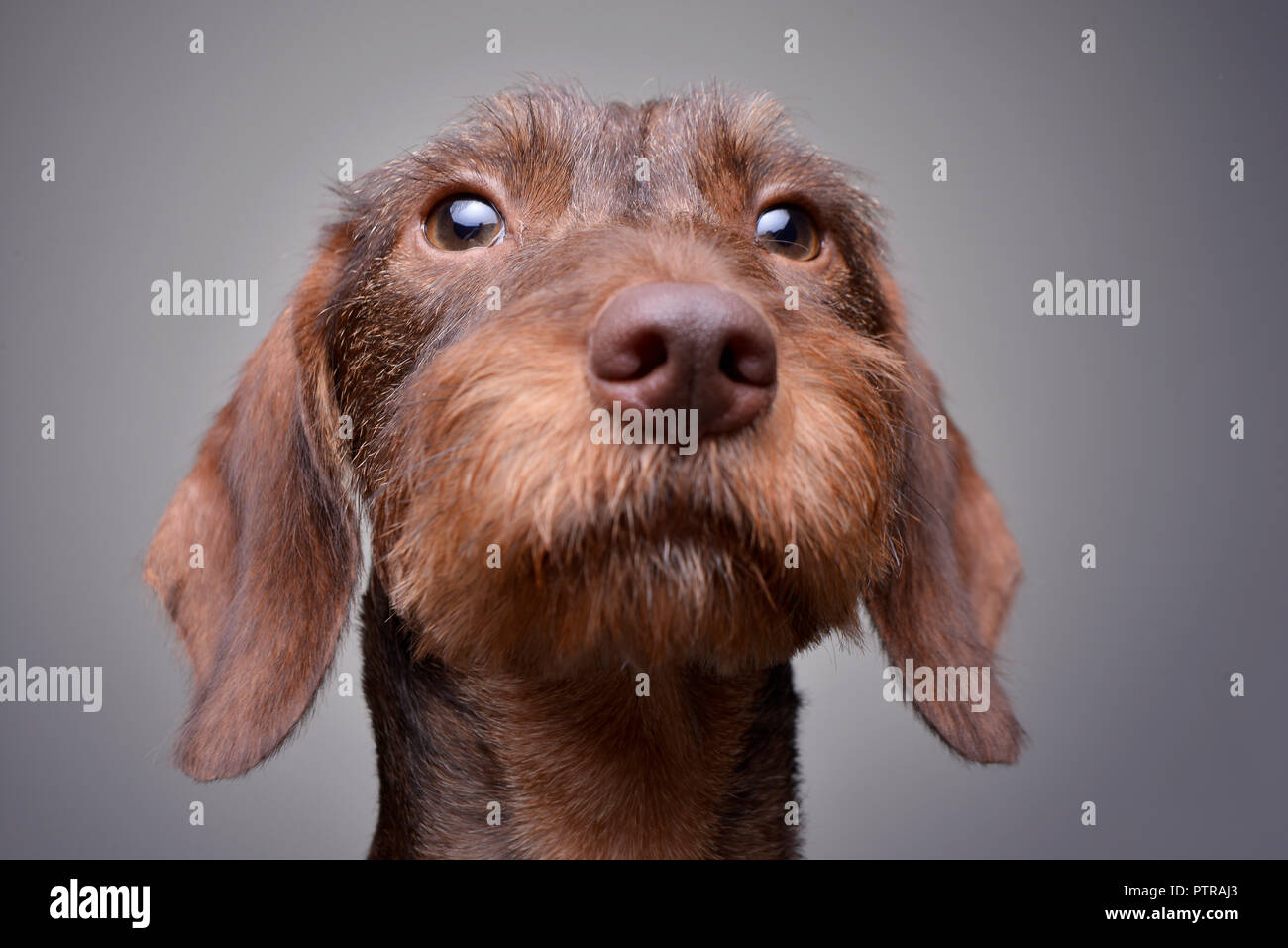Portrait Of A Cute Dachshund Puppy Studio Shot Isolated On Grey Stock Photo Alamy