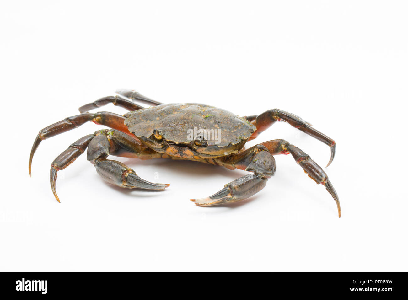 A shore crab, Carcinus maenas, also known as the european crab or green crab, photographed on a white background before release. Dorset England - Stock Image
