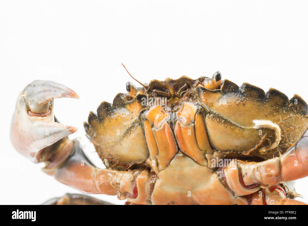 A shore crab, Carcinus maenas, also known as the european crab or green crab, photographed on a white background before release. Dorset England Stock Photo