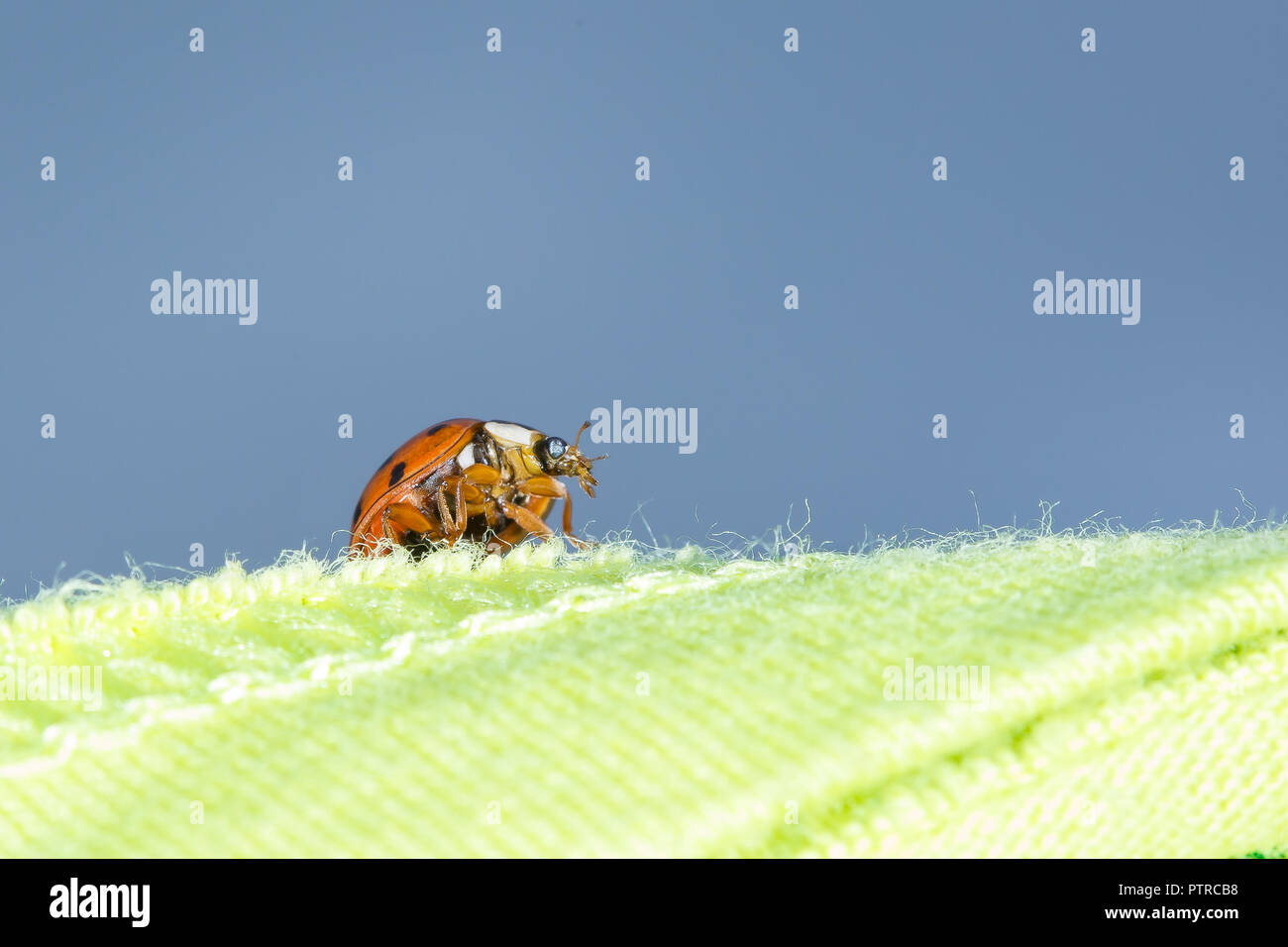 Macro close up of single ladybird (viewed from underneath), outdoors in garden, crawling on green material, against blue sky background. - Stock Image
