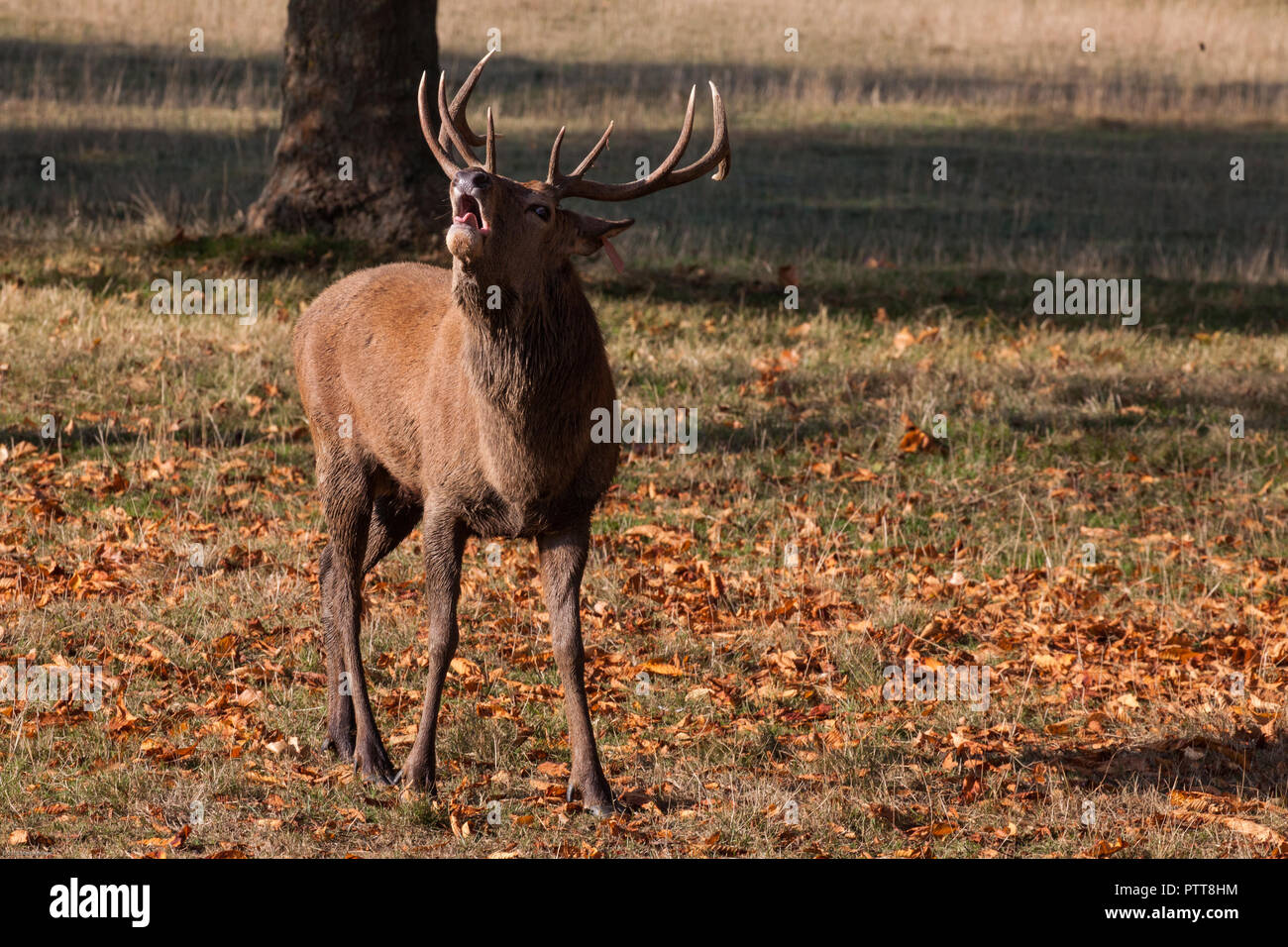 Windsor, UK. 10th October, 2018. A red stag brought to Windsor Great Park from the Balmoral Estate throws back its head to bellow on a warm autumn morning during the rutting season. There is a herd of around 500 red deer within the deer park enclosure in Windsor Great Park, all descended from forty hinds and two stags introduced from Balmoral Estate in 1979 by the Duke of Edinburgh. Credit: Mark Kerrison/Alamy Live News - Stock Image