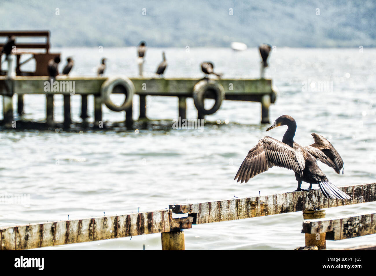 Cormorants (Phalacrocorax brasilianus) at Costa da Lagoa. Florianopolis, Santa Catarina, Brazil. - Stock Image