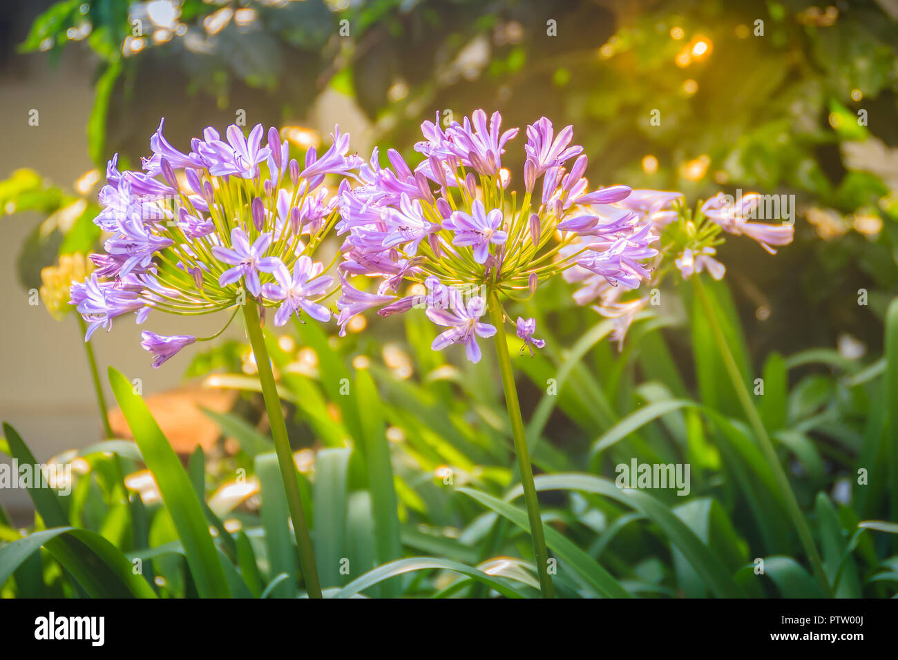Beautiful Purple Agapanthus Africanus Flower African Lily Or Lily