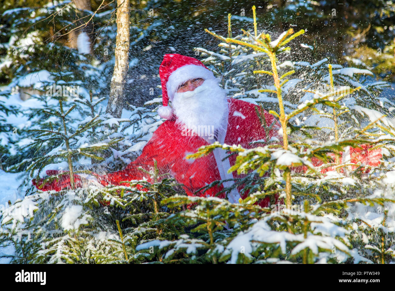 Santa Claus jump from snowy trees. Funny Santa peeks out of the winter forest with spray of snow. - Stock Image