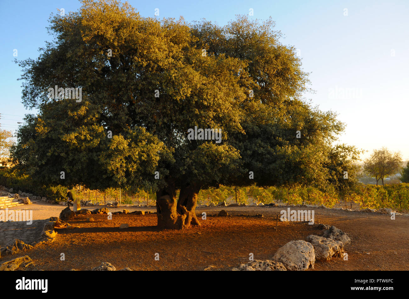 Lone Oak in Gush Etzion, Israel - Stock Image