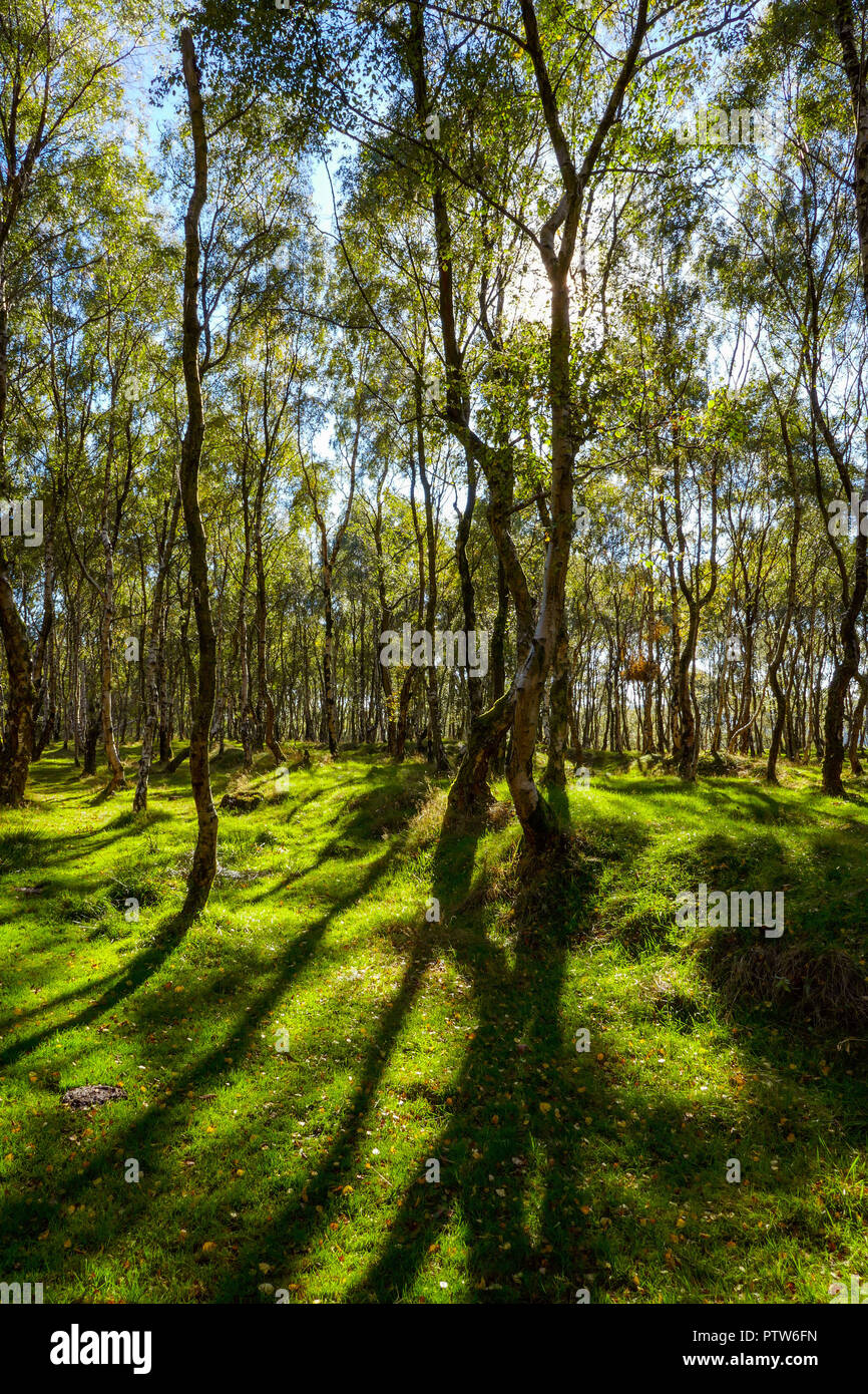 Autumn sun shines through birch trees, Lawrencefield Quarry, Surprise View, Peak District, Derbyshire, UK - Stock Image