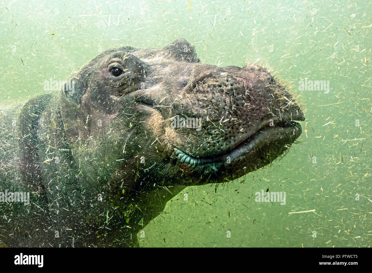 A young hippo floats under water. Hippopotamus swims in dirty green water. - Stock Image