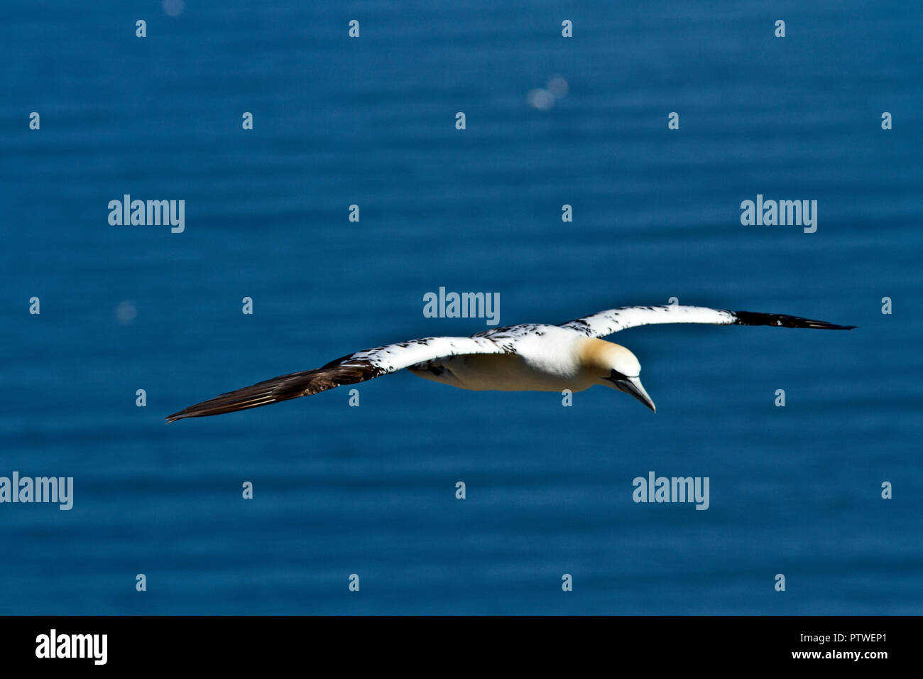 Bempton Cliffs in the only mainland breeding colony for the spectacular Northern Gannet. Recent years have seen the colony size triple in numbers and  - Stock Image