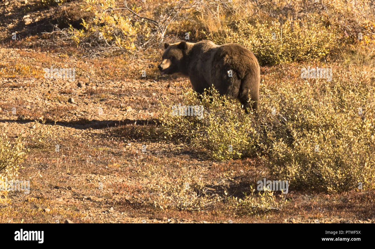 Female brown bear walking in golden cover in Denali National Park - Stock Image