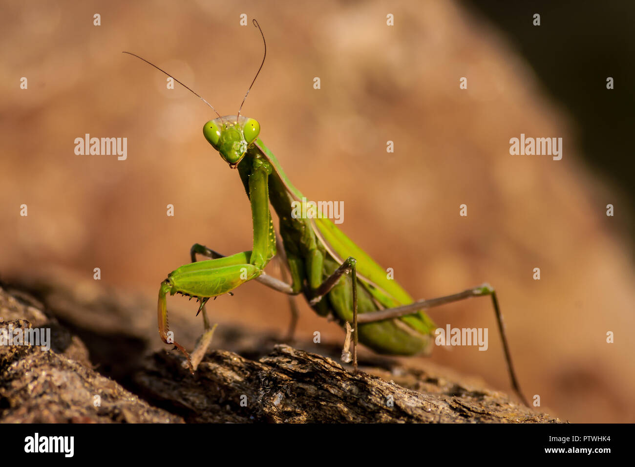 Green praying mantis looking at the camera close up on a rocky background Stock Photo