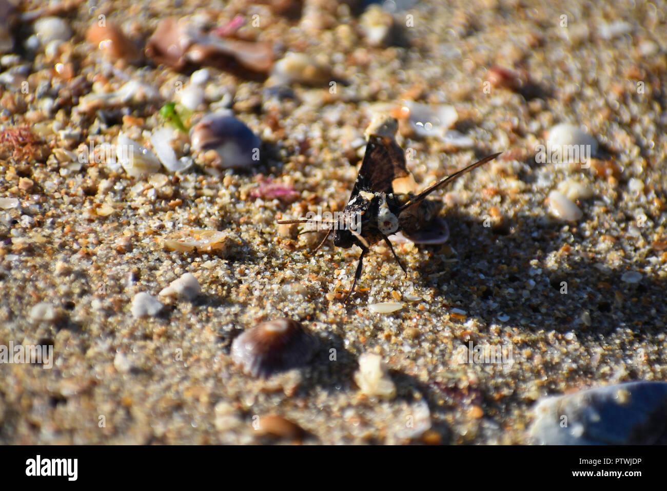 Hummingbird Moth (macroglossum sp.) Emerged From Wet Beach Sand, Western Cape, South Africa - Stock Image