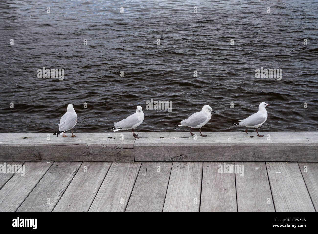 4 sea gulls, Laridae, walking on a wooden quay - Stock Image