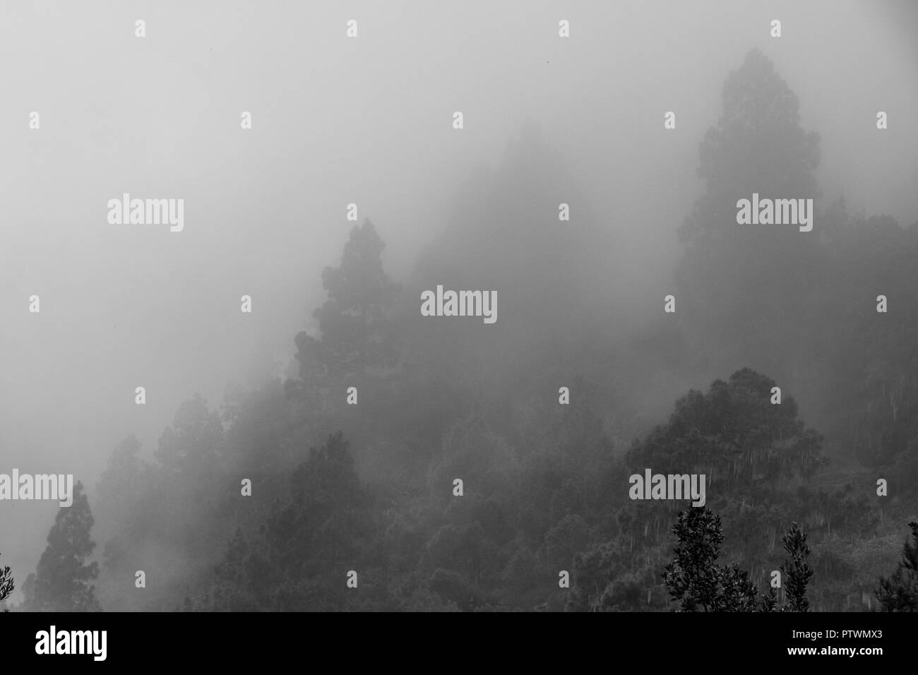 trees in clouds, foggy conifer forest in fog - Stock Image
