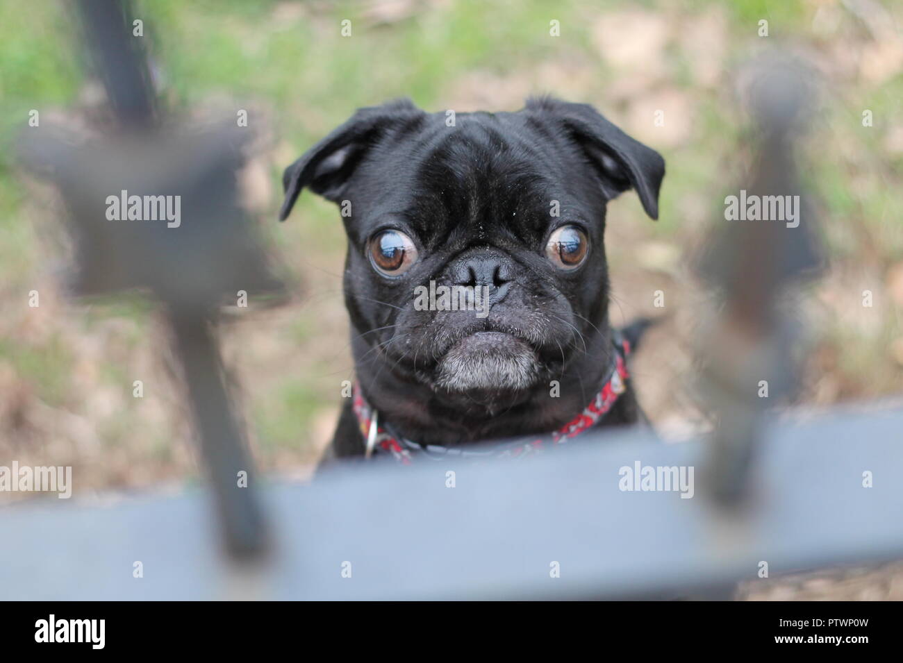 Purebred pug looking through a fence - Stock Image