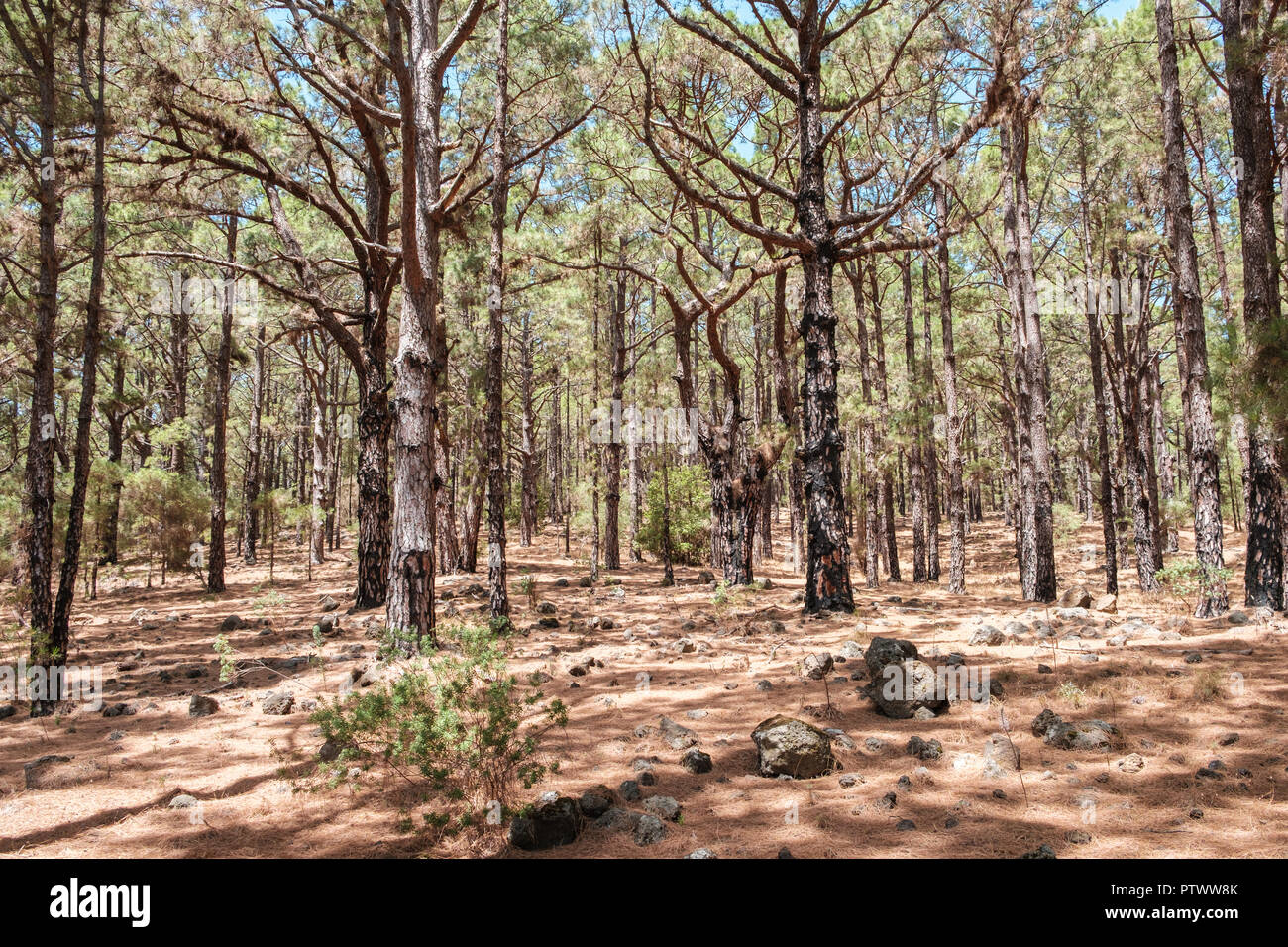 inside conifer forest, pine trees in forest landscape, Esperanza - Stock Image