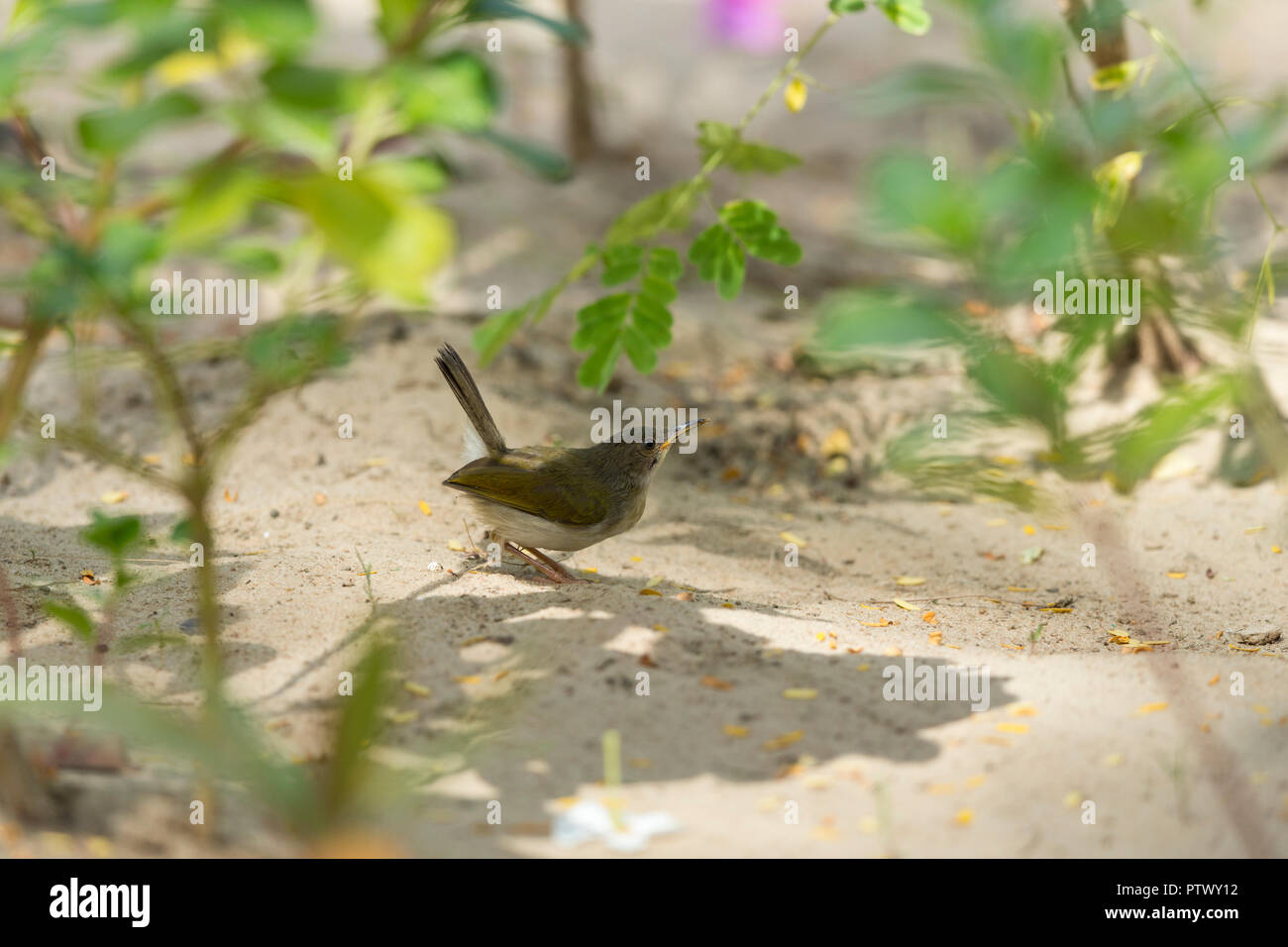 Grey-backed cameroptera Cameroptera brachyura, adult, foraging on sand soil, Kotu Bridge, Banjul, The Gambia, November - Stock Image