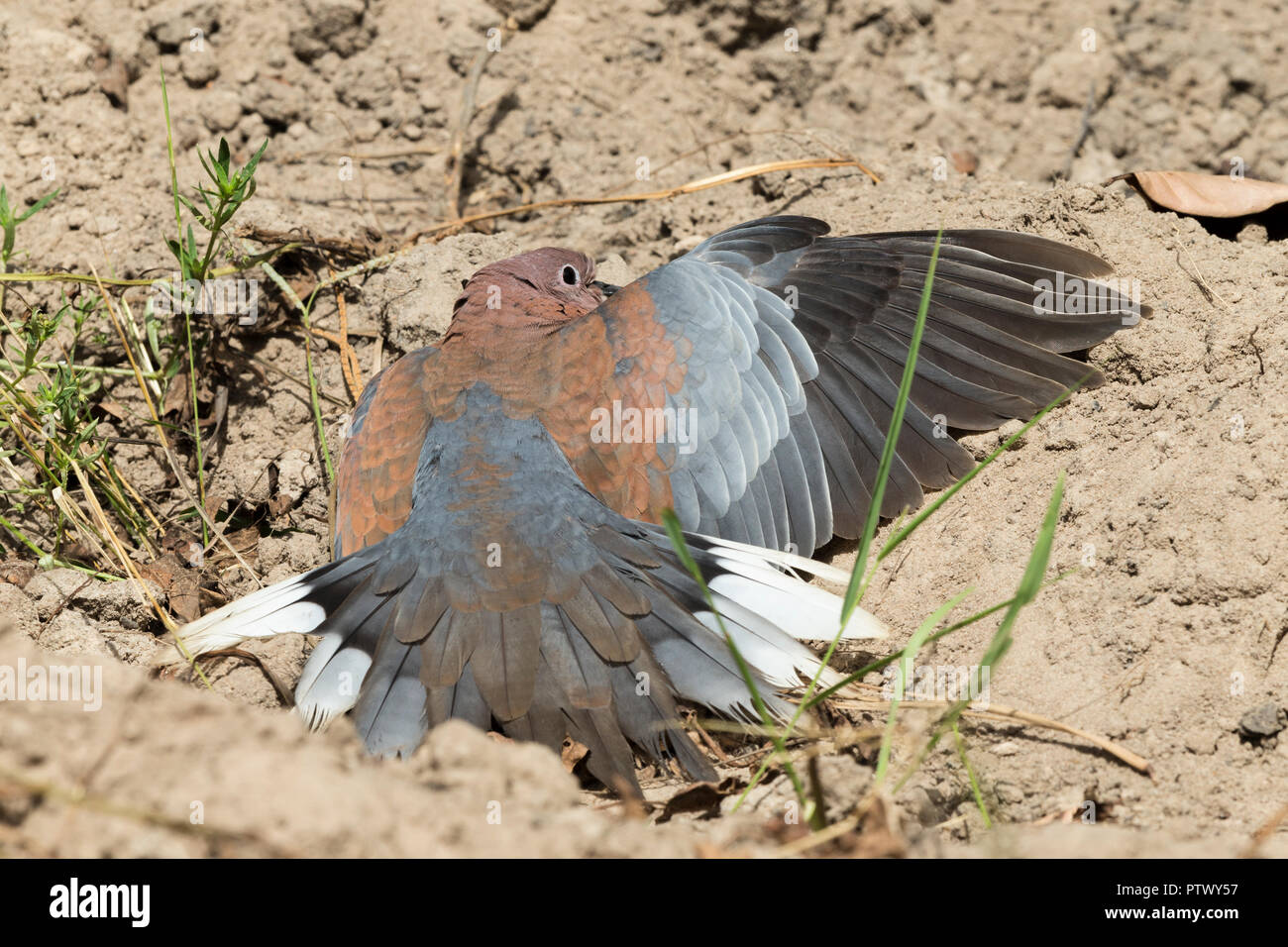 Laughing dove Streptopelia senegalensis, adult, sunbathing on sandy soil, Kotu Bridge, Banjul, The Gambia, November Stock Photo
