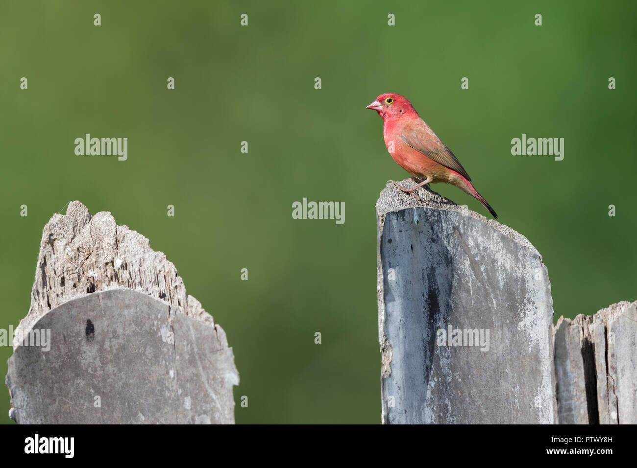 Red-billed firefinch Lagonosticta senegala, adult male, perched on post, Kartong Wetland, Gambia, November Stock Photo