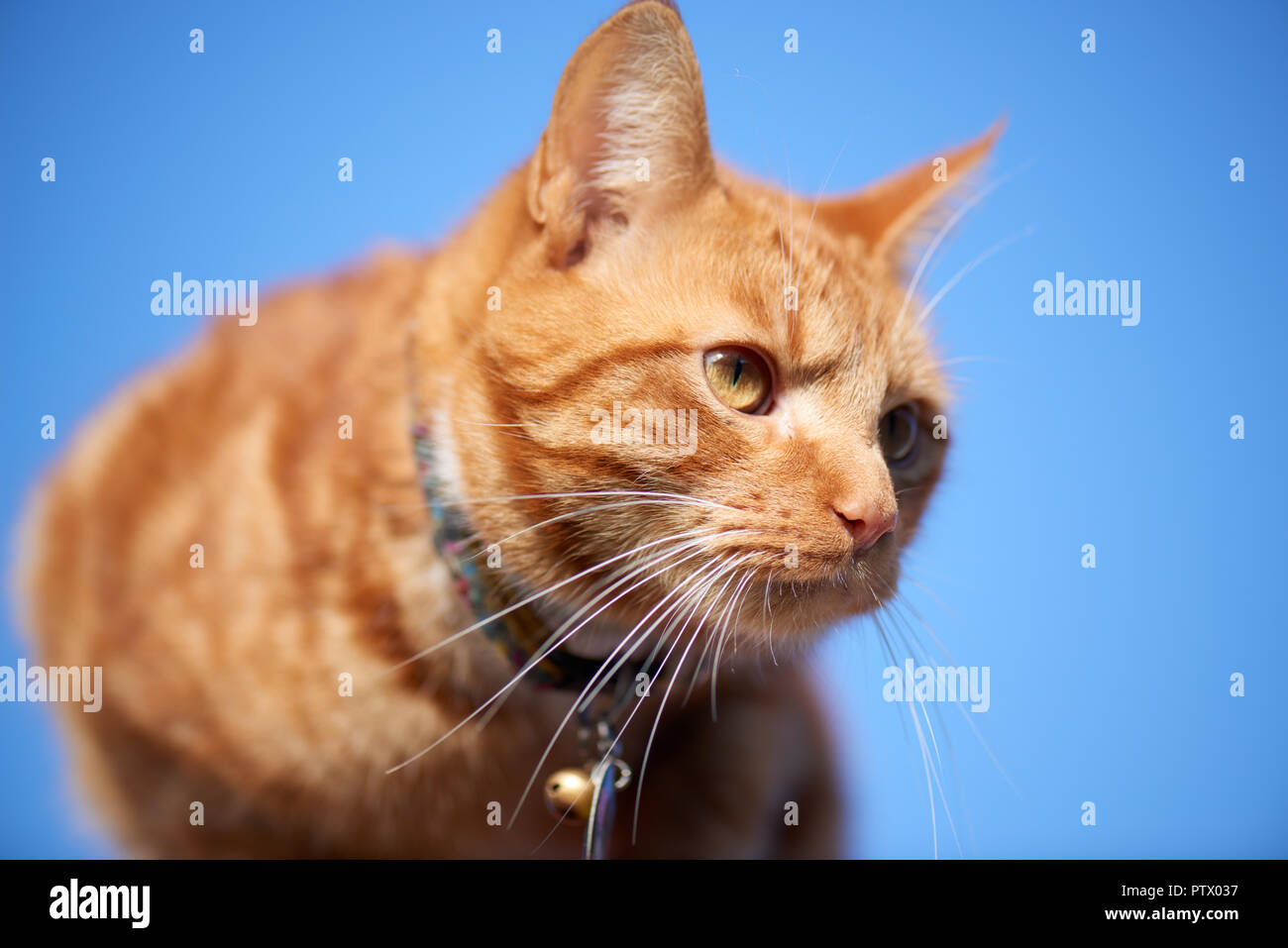 Young ginger red tabby cat close portrait photographed from below isolated against a blue sky background. Stock Photo