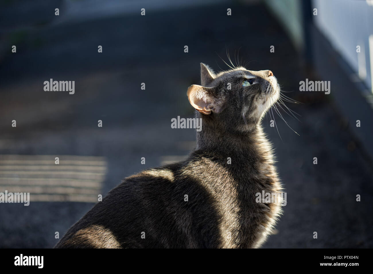 Grey cat about to jump a fence with lit by the low sun striped through a picked fence. - Stock Image