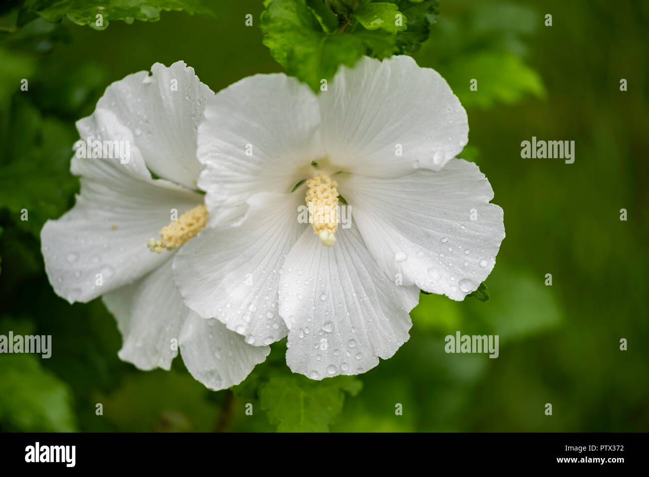 Two White Flowers On A Rose Of Sharon Shrub Althea Hibiscus