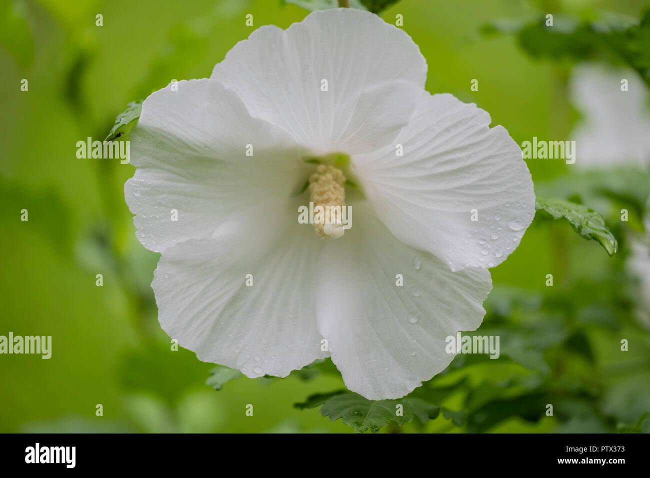 A Pure White Flower On A Rose Of Sharon Shrub Althea Hibiscus