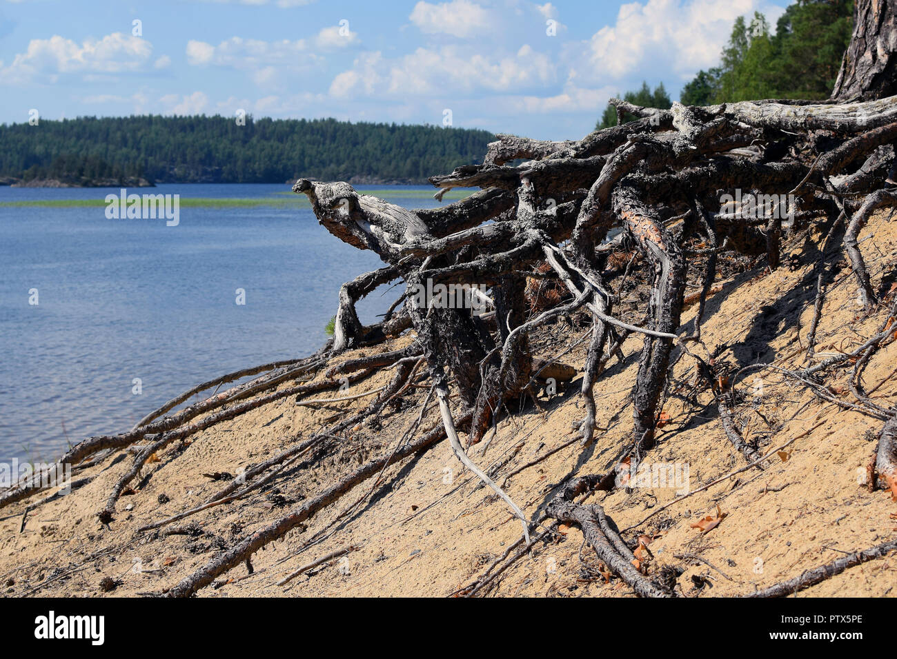 Exposed roots and beautiful lake view on background. Location: Pistohiekka, Puumala, Finland. - Stock Image