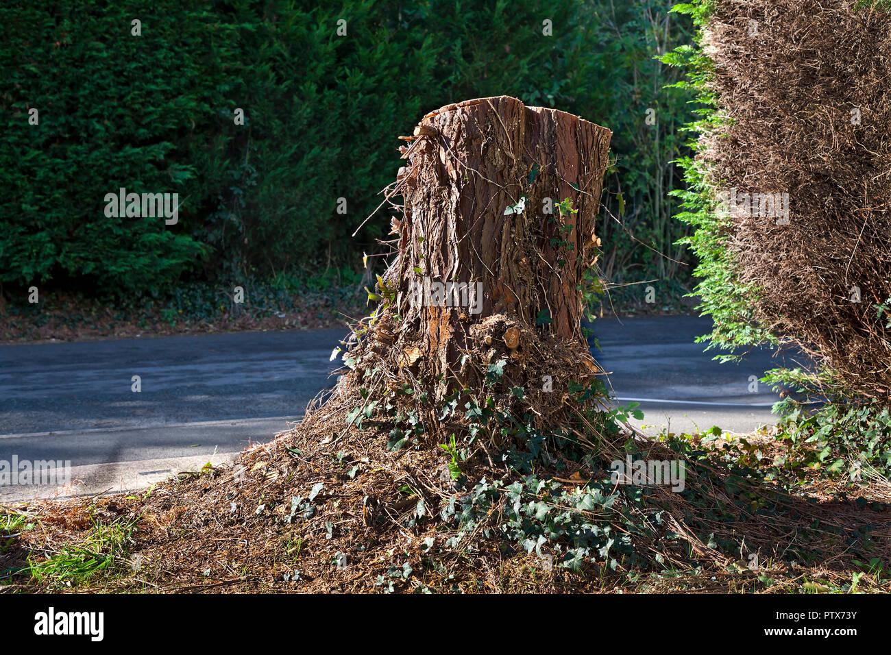 Conifer tree stump in garden - Stock Image