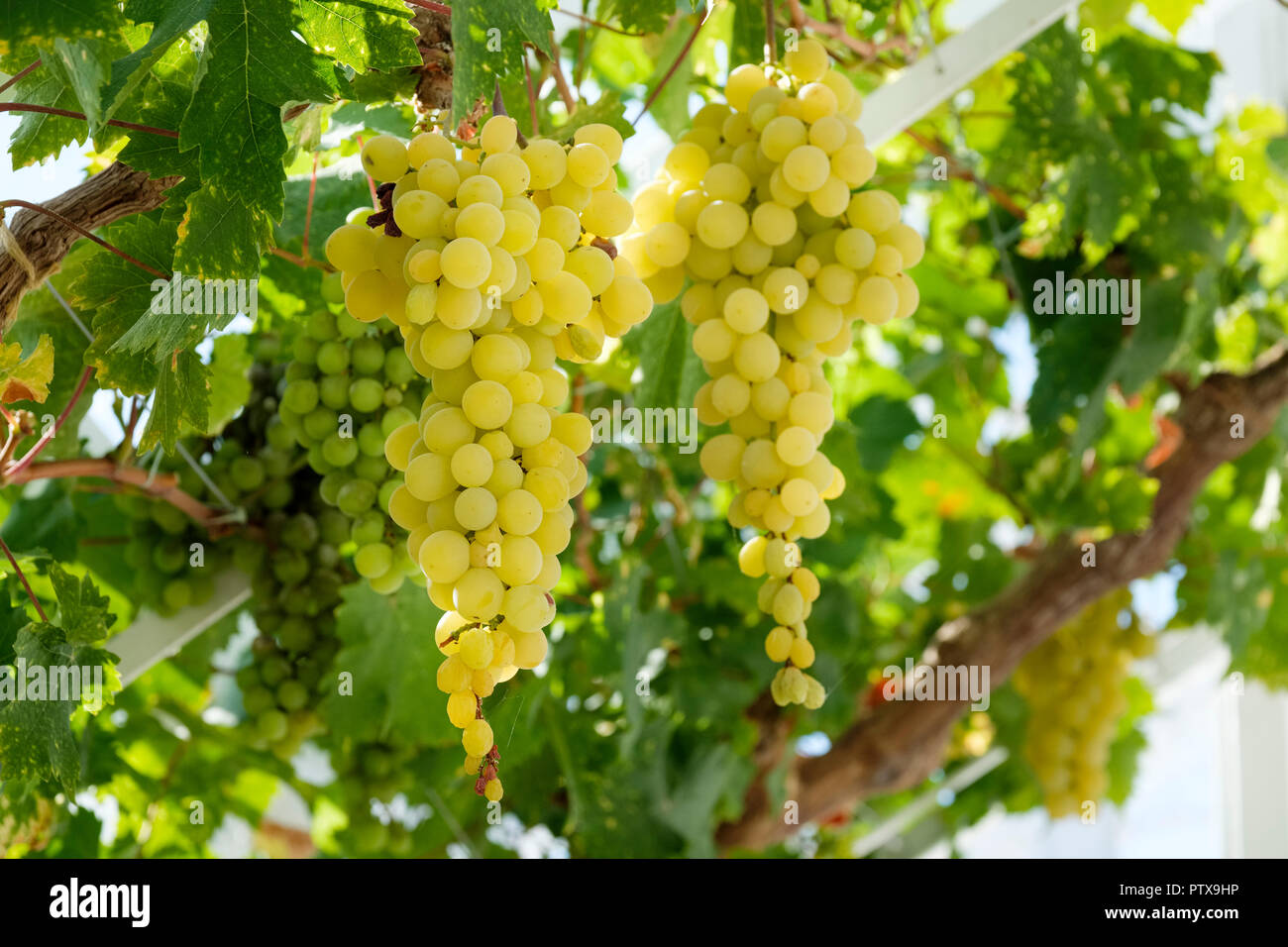 Green table grapes (Vitis vinifera) hanging from the vine in a greenhouse, Sussex, England, UK Stock Photo
