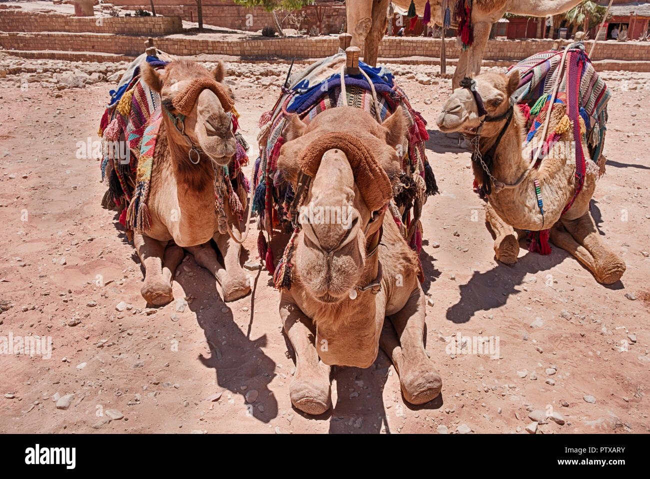 Three camels with saddles and blankets ready for tourists are close-up and staring directly at the camera. - Stock Image
