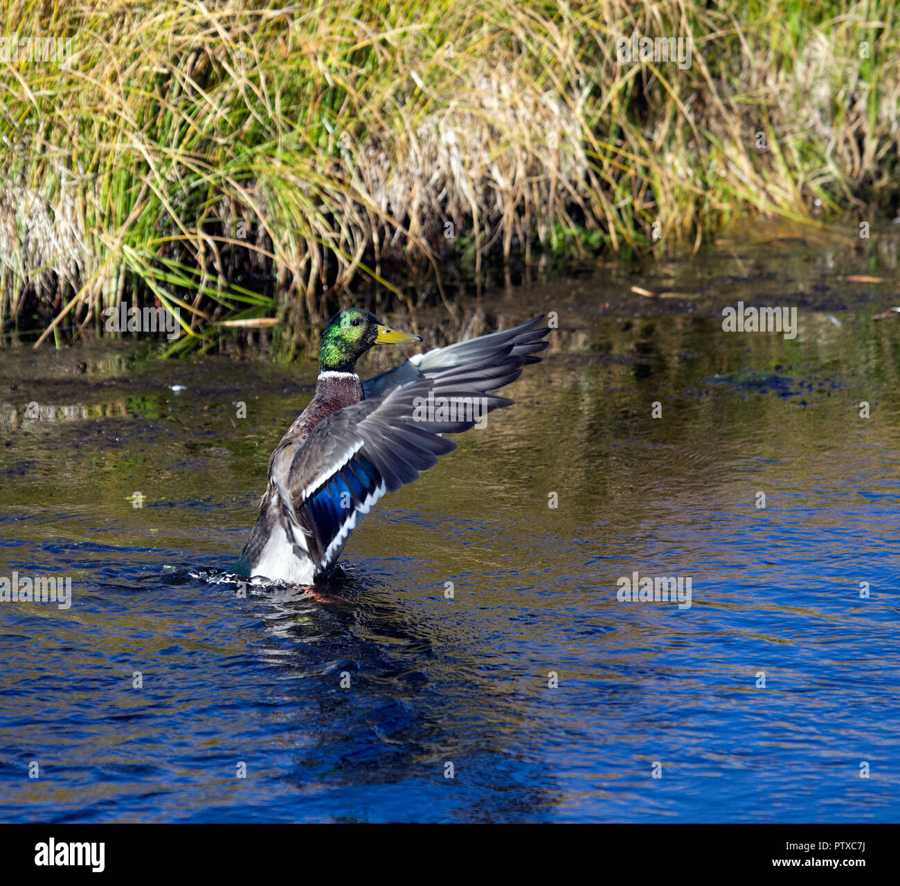 Mallard Drake Flapping - Stock Image